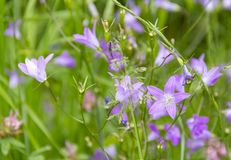 Violet bellflowers Royalty Free Stock Photo