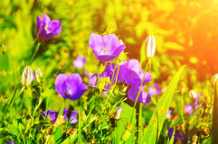 Violet bellflowers - in Latin Campanula carpatica - in the meadow under bright sunlight. Stock Image