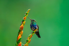 Violet-Bellied Hummingbird, Juvenile Stock Image