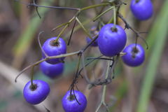 Violet Berry`s. On a bush ready to harvest Royalty Free Stock Photo