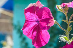 Violet bindweed or convolvulus Stock Photos