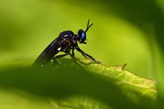 Violet black-legged robber fly, Dioctria atricapilla. With black body and bright blue eyes... sitting in a lush vegetation stock photos