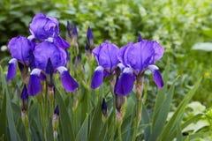 Violet-blauwe bloemen van gebaarde germanica van de irisiris stock afbeelding