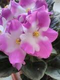 Violet bloeiend viooltje stock foto's