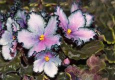 Violet bloemenclose-up op een landbouwbedrijf, op een groene achtergrond Royalty-vrije Stock Foto