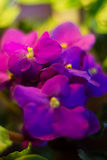 Violet blomma, blommor, naturel, färger, ametist som är härlig, skuggor av blått, växter, altfiol, sidor, sängkläderväxter, ekolo Arkivbilder