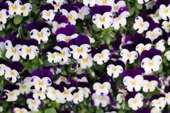 Violet blomma, blommor, naturel, färger, ametist som är härlig, skuggor av blått, växter, altfiol, sidor, sängkläderväxter, ekolo Royaltyfri Bild