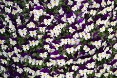Violet blomma, blommor, naturel, färger, ametist som är härlig, skuggor av blått, växter, altfiol, sidor, sängkläderväxter, ekolo Arkivfoton