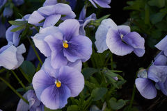 Violet bloomed in the border. City Stock Photo