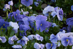 Violet bloomed in the border. City Stock Photography