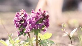 Violet blooming corydalis in light breeze. stock footage