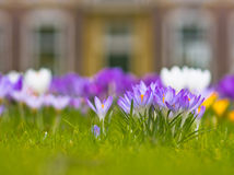 Violet blooming crocus Royalty Free Stock Photos