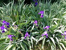 Violet blooming males on the city flowerbed Royalty Free Stock Image