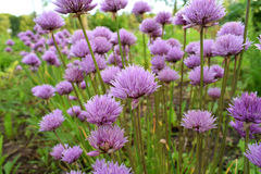 Violet blooming onion in a garden Stock Photography