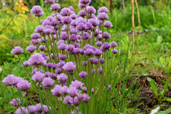 Violet blooming onion in a garden Royalty Free Stock Image