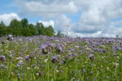 Violet Blooming phacelia field Stock Photography