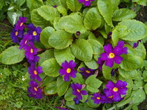 Violet Blooms in Spring Stock Image