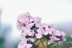 Violet blossom. In the garden Royalty Free Stock Images