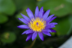 Violet blossom lotus in fishbowl Royalty Free Stock Image