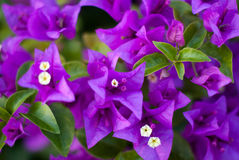 Violet blossom. With the sunshine day Royalty Free Stock Photo