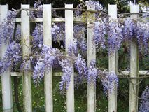 Wisteria sinensis blossom on a fence. Violet blossom of Wisteria sinensis climber stock images