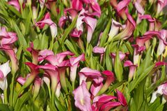 Calla lily flowers. Violet blossoming calla lily flowers Royalty Free Stock Images