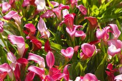 Calla lily flowers. Violet blossoming calla lily flowers Royalty Free Stock Photo