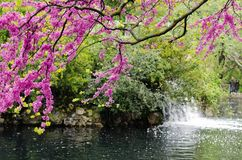 Violet blossoming Cercis siliquastrum plant and a fountain at El Capricho garden in Madrid Spain. Spring season Royalty Free Stock Photo