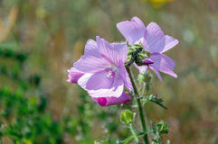 Violet blossoming musk mallow plant from close Stock Photo
