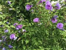 Violet hibiscus shrub royalty free stock images