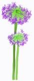 Violet blowball Stock Image