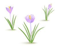 Violet-blue crocus spring flower  on white background. Yellow saffron. Vector illustration EPS10 Royalty Free Stock Photo