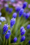 Violet and blue flowers. In the garden Stock Images