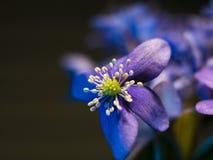 Violet blue flowers macro photo. Flower buds closeup stock photos