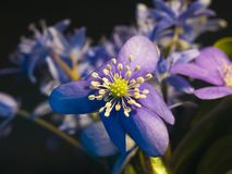 Violet blue flowers macro photo. Flower buds closeup royalty free stock photos