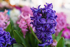 Violet blue Hyacinth flower with the pink blurred background in stock photos