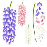 Violet Blue Pink en Witte Wisteria Vector illustratie Geïsoleerdj op witte achtergrond Stock Foto