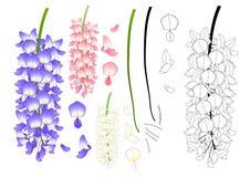 Violet Blue Pink y esquema blanco de la glicinia Ilustración del vector Aislado en el fondo blanco Foto de archivo libre de regalías