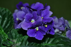VIOLET. Blue plant is growing in the room conditions Stock Photos