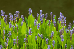 Violet blue Pontederia flowers Stock Photos