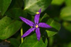 Violet Blue Star Flower Lizenzfreies Stockfoto
