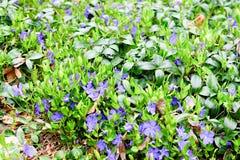 Violet blue-violet  flowers. Green and violet background Royalty Free Stock Image