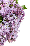 Violet bouquet of lilac Royalty Free Stock Photography