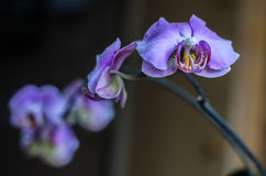Violet branch orchid flowers, Dark background. Royalty Free Stock Photos