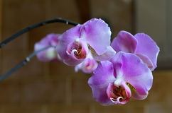 violet branch orchid flowers, Dark background. Royalty Free Stock Images