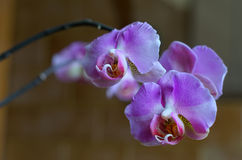 violet branch orchid flowers, Dark background. Stock Images