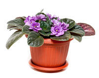 Violet in a brown pot Stock Photo