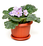 Violet in a brown pot Stock Image