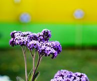 Violet Buddleja or Buddleia butterfly bush flower shalow depth of field.  Stock Images