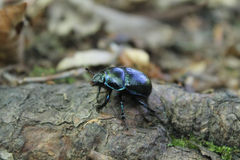 Violet bug. Macro Cetonia aurata on brunch in forest. Stock Photo